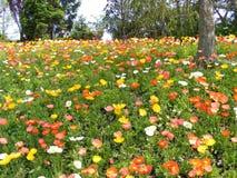 Feld der Mohnblumen Lizenzfreie Stockbilder