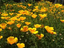 Feld der Mohnblumen Lizenzfreie Stockfotos