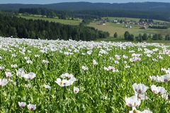 Feld der Mohnblumen in Mitteleuropa Lizenzfreie Stockfotos