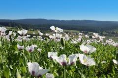 Feld der Mohnblumen in Mitteleuropa, Hochländer Lizenzfreies Stockfoto