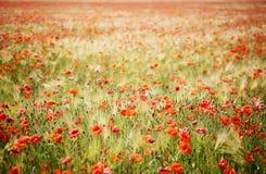 Feld der Mohnblumen und des Roggens Stockfotos
