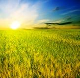 Feld der Ohren auf einem schönen Sonnenuntergang des Hintergrundes Lizenzfreies Stockbild