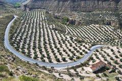 Feld der Olivenbäume und der Straße Stockbild