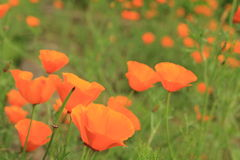 Feld der orange Blumen lizenzfreie stockfotos