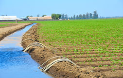 Feld der organischen Getreide-Bewässerung Stockfotos