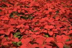 Feld der Poinsettias Stockbilder