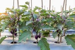 Feld der purpurroten Aubergine bereit zu ernten stockfotos