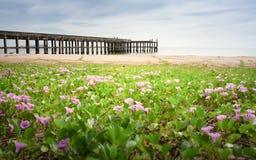 Feld der purpurroten Blume auf dem Strand Stockfoto