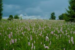 Feld der purpurroten Blumen Stockbilder