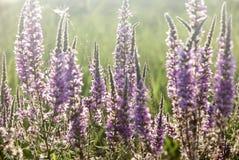 Feld der purpurroten Blumen Lizenzfreies Stockbild