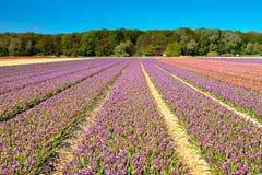 Feld der purpurroten Hyazinthen im Frühjahr Stockbilder