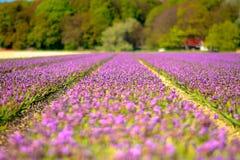 Feld der purpurroten Hyazinthen im Frühjahr Stockfotos