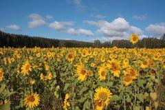 Feld der reifen gelben Sonnenblumen Stockbilder