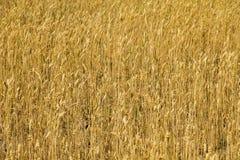 Feld der reifen goldenen Weizennahaufnahme Stockbild