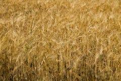 Feld der reifen goldenen Weizennahaufnahme Lizenzfreie Stockbilder