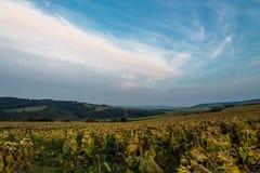 Feld der reifen Sonnenblumen Stockfotos