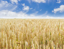 Feld der reifenden Weizennahaufnahme Stockfotos
