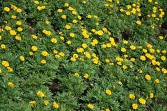 Feld der Ringelblumenblume stockfotos