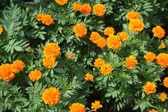 Feld der Ringelblumenblume lizenzfreie stockbilder
