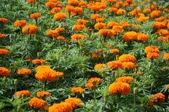 Feld der Ringelblumenblume stockfoto