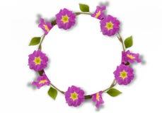 Feld der rosa Primel, grüne Blätter, Niederlassungen auf weißem Hintergrund Flache Lage, Draufsicht Gelbe Blumen, Basisrecheneinh Lizenzfreies Stockbild