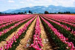 Feld der rosa Tulpen Stockfotografie