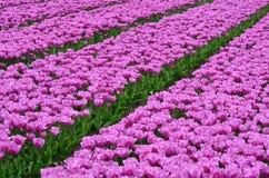 Feld der rosafarbenen Tulpen Stockbild