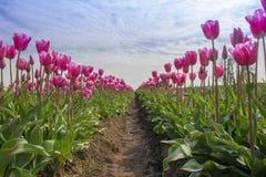 Feld der rosafarbenen Tulpen Stockfoto