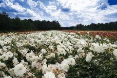 Feld der Rosen stockfotografie