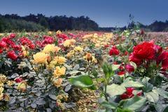 Feld der Rosen lizenzfreie stockfotos