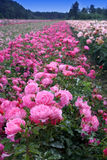 Feld der Rosen lizenzfreies stockfoto