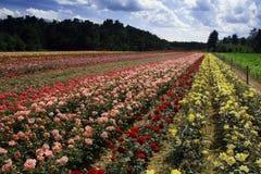 Feld der Rosen stockfoto