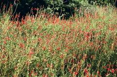 Feld der roten Blumen-Blüte Stockfoto