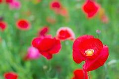 Feld der roten Mohnblumeblumen Lizenzfreies Stockbild