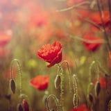 Feld der roten Mohnblumen Stockbild