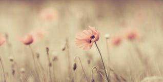 Feld der roten Mohnblumen Lizenzfreie Stockfotos