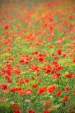 Feld der roten Mohnblumen Lizenzfreies Stockbild