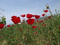 Feld der roten Mohnblumen Stockfoto