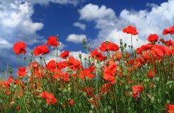 Feld der roten Mohnblumen Lizenzfreies Stockfoto
