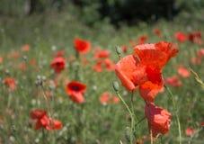 Feld der roten Mohnblumen Stockfotos