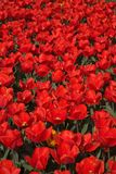Feld der roten Tulpen Lizenzfreie Stockfotografie