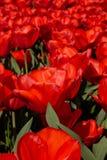 Feld der roten Tulpen Stockfoto