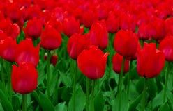 Feld der roten Tulpen Stockfotografie