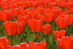 Feld der roten Tulpen Stockbild