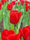 Feld der roten Tulpen Stockfotos