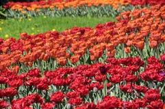 Feld der roten Tulpen lizenzfreies stockbild