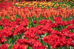 Feld der roten Tulpen Stockbilder