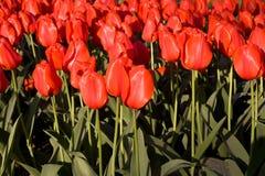 Feld der roten Tulpen im Sonnenlicht stockfotografie