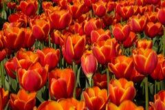 Feld der roten und gelben Tulpen Stockbild