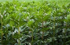 Feld der Saubohnen Stockbild